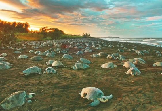 Arribada e desova das tartarugas em Ostional, Costa Rica - nada a ver com MST e Rio Solimões