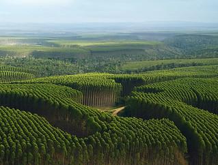 Monocultivo de eucalipto parece uma floresta, mas não é