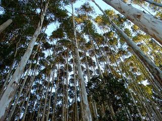 Organizações divulgam manifesto contra a liberação de eucalipto transgênico pela CTNBio