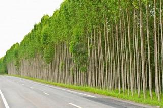 CNTBio libera comercialização do eucalipto transgênico