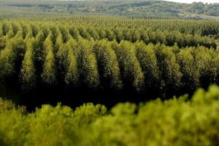 Preste a ser aprovado, eucalipto transgênico trará mais danos ambientais