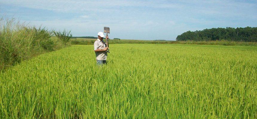 Sem Terra se preparam para a colheita do arroz agroecológico no RS