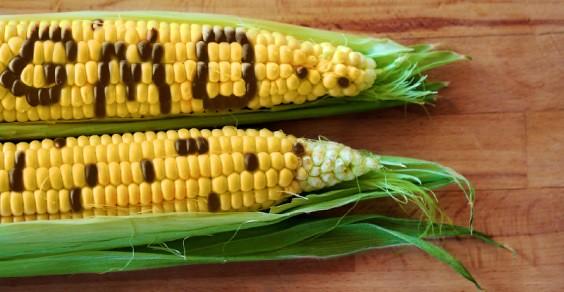 milho_GMO.jpg