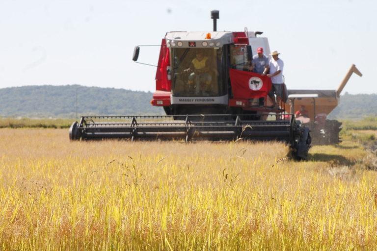 Sem Terra abrem colheita do arroz agroecológico no RS