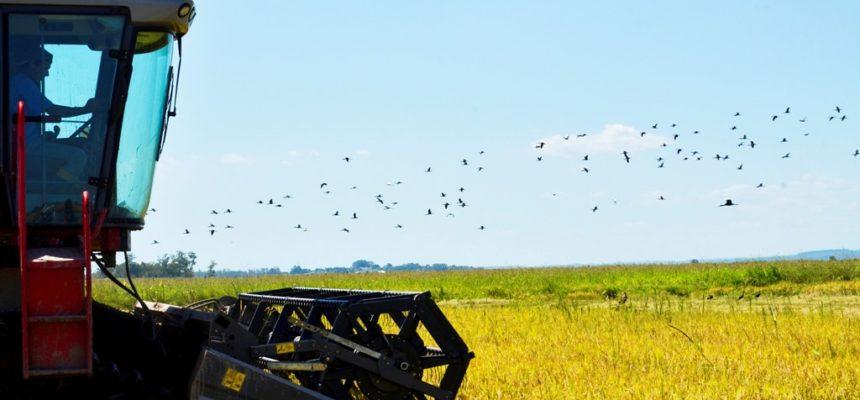 MST promove 13ª Abertura oficial da Colheita do Arroz Agroecológico