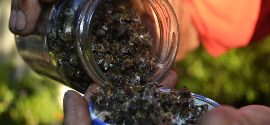 Chuva de veneno mata abelhas e destrói produção de mel no interior do RS