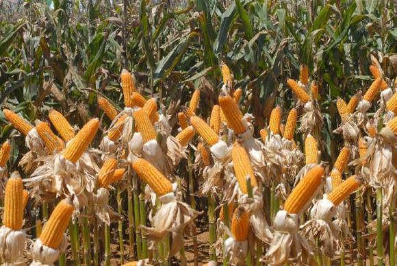 Consumo de transgênicos e alimentos com agrotóxicos preocupa especialistas
