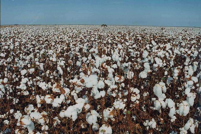 milho e algodão