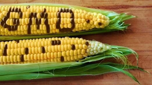 Governo Temer aprova novas variedades de milho transgênico no Brasil