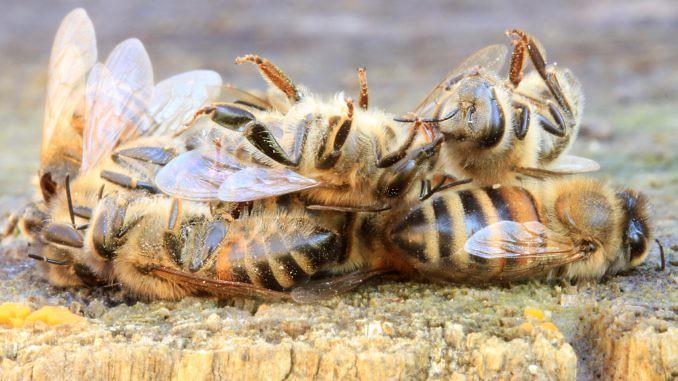 Syngenta faz greenwashing com morte de abelhas