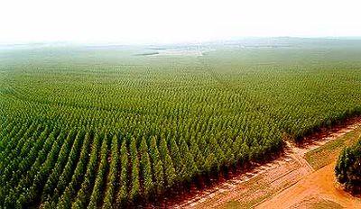 Eucalipto: o deserto verde que ameaça a vida dos povos tradicionais do campo