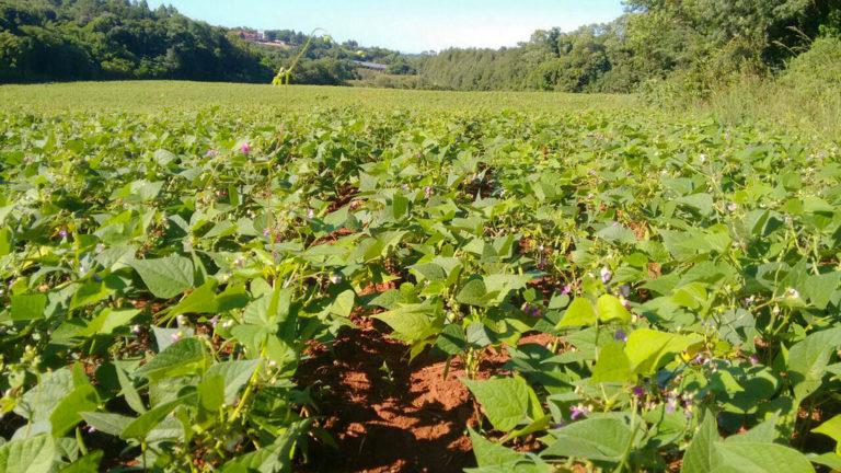 Sem veneno: famílias acampadas do MST produzem 900 quilos de feijão no RS
