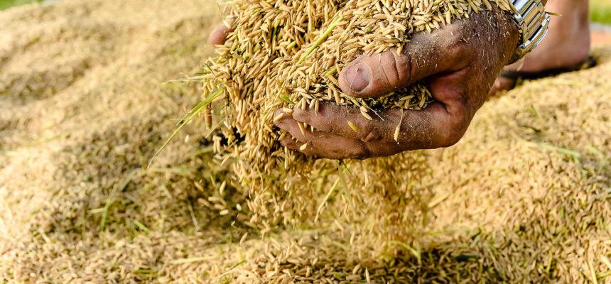 MST investe em pesquisa para melhorar produção de arroz orgânico no RS