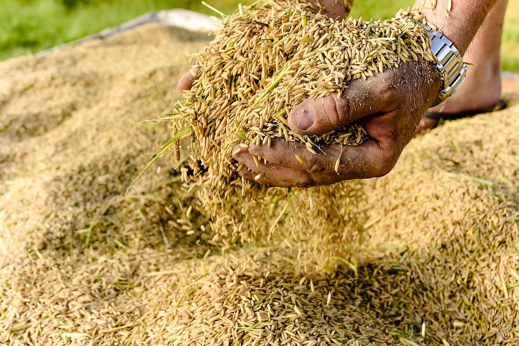 MST promove 14ª Abertura Oficial da Colheita do Arroz Agroecológico no RS