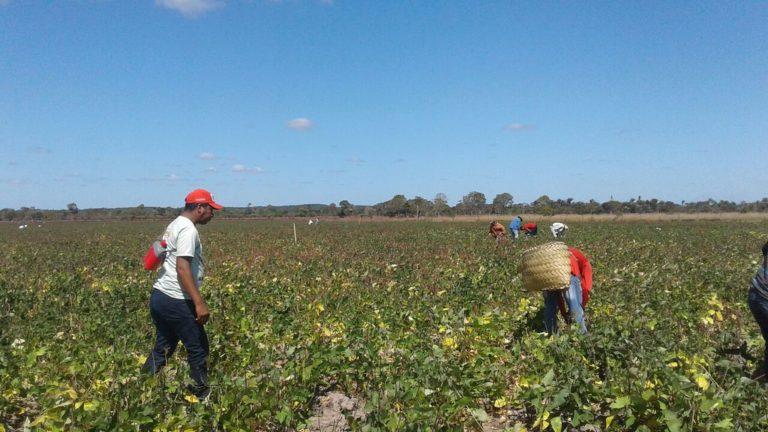 Assentados comemoram colheita de feijão sem agrotóxico no Maranhão