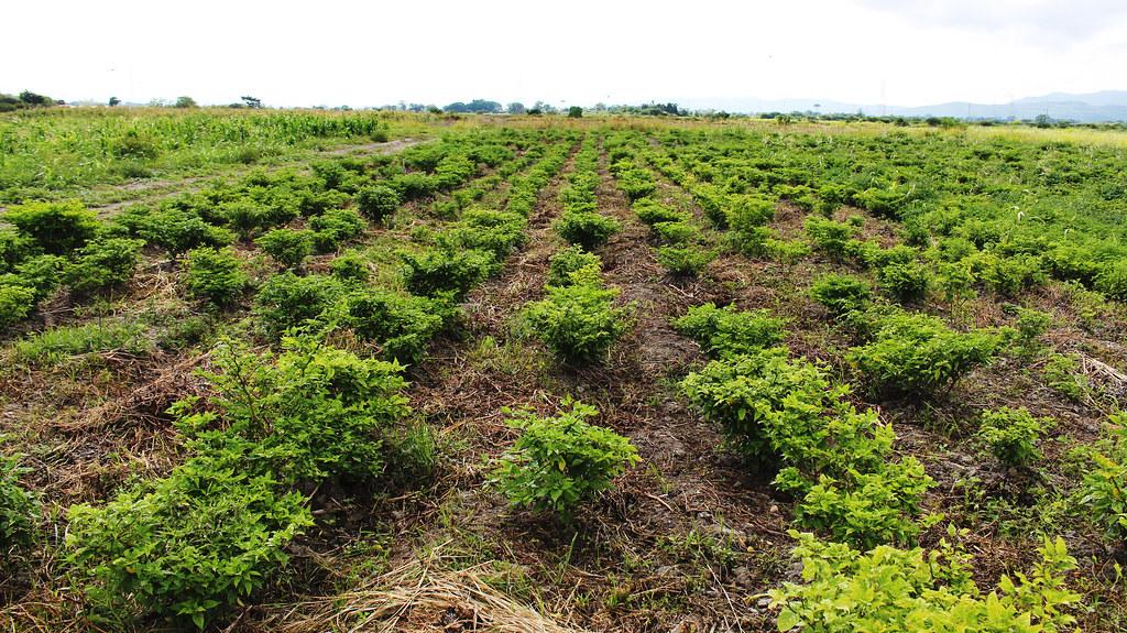 Plantação de pimentões orgânicos.jpg
