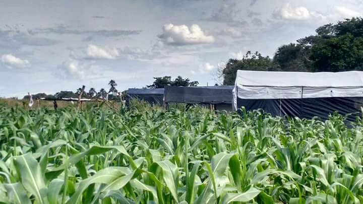 MST e MCP produzem safra recorde de milho crioulo no sudeste do Goiás