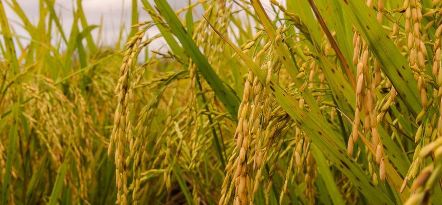 Conferência internacional evidencia produção de arroz orgânico do MST