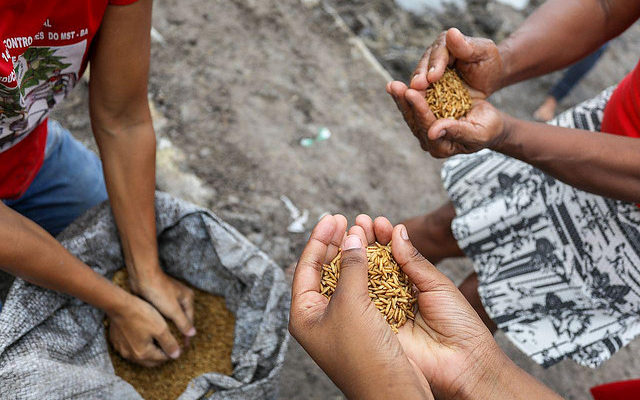 """Produção de arroz orgânico do MST chega à Bahia: """"Dia histórico"""", celebra dirigente"""