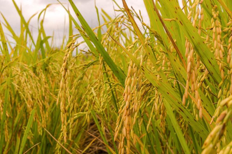 MST planeja próxima safra de arroz orgânico
