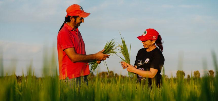 Arroz orgânico: Festa em celebração à colheita será em Nova Santa Rita