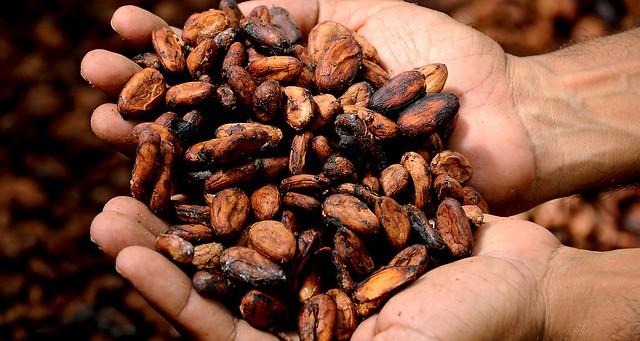 Cacau e chocolate agroecológico: conheça a produção que cresce no norte do país