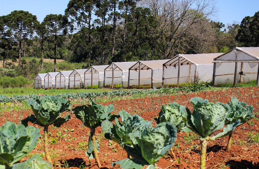 Acampamento tem nove estufas de orgânicos para subsistência e comercialização em bairros próximos. Foto - Catiana de Medeiros...jpg