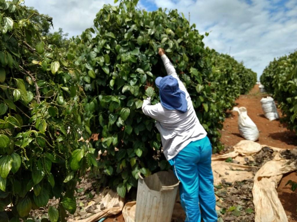 Colheita de café em área de Reforma Agrária no ES. Foto_Divulgação.jpg