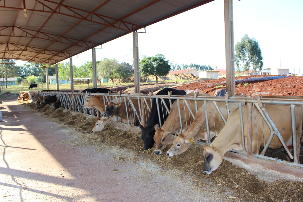 Produzir um litro de leite custa em torno de R$ 0,80. O lucro do produtor é de apenas R$ 0,20 por litro. Foto - Wellington Lenon.JPG