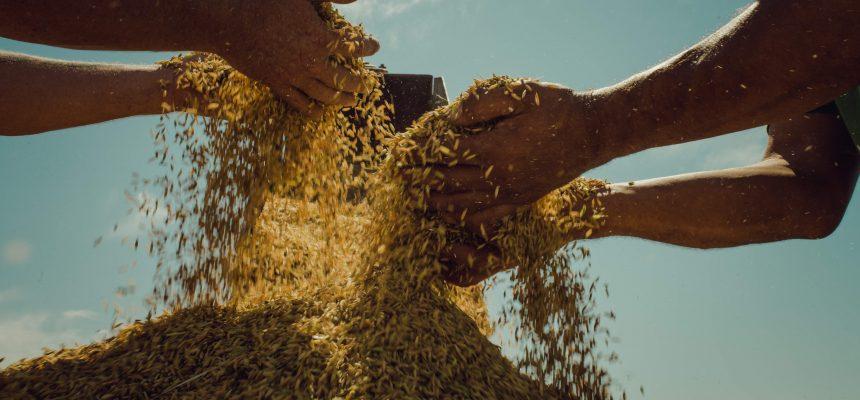 Maior produção de arroz orgânico da América Latina é do MST