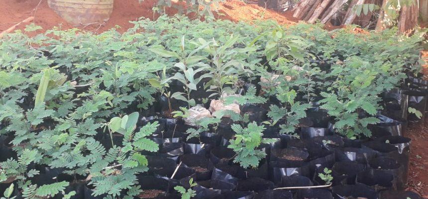 Acampamento do MST revitaliza cerrado com  cultivo de 10 mil mudas