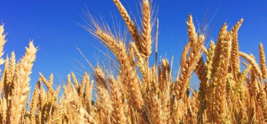 Só a pressão popular pode barrar a liberação de trigo transgênico no Brasil