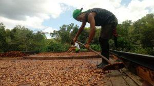 Norte e Nordeste concentram produção de cacau no Brasil